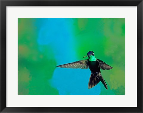 Framed Magnificent hummingbird in flight, Arizona, USA Print