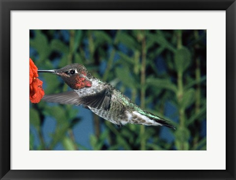 Framed Anna's hummingbird pollinating a flower Print