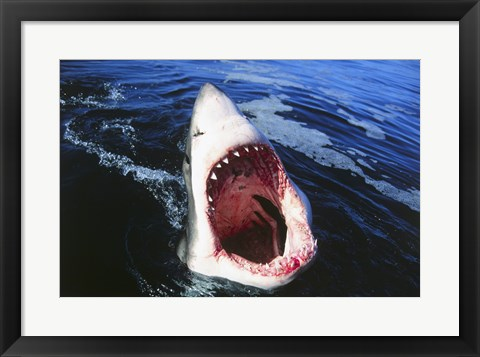 Framed Great White Shark with its mouth open Print