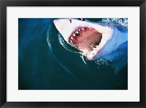 Framed Great White Shark Biting Print