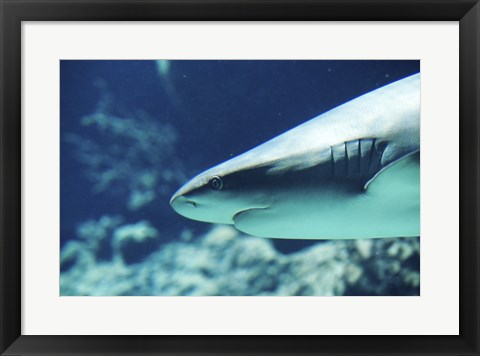 Framed Caribbean Reef Shark Up Close Print