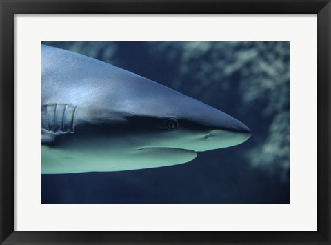 Framed Close-up of a Caribbean Reef Shark in the sea Print