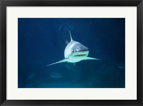 Framed Caribbean Reef Shark Print