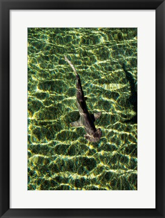 Framed High angle view of a Bonnethead Shark underwater Print
