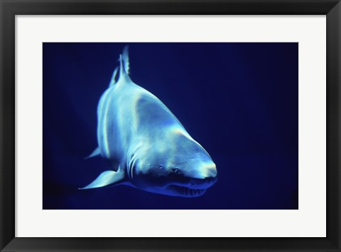 Framed Shark Great White Print