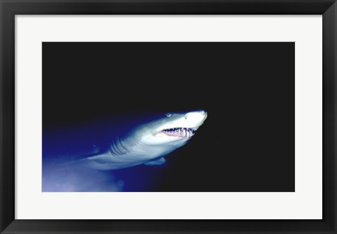 Framed Ragged-tooth Shark Print