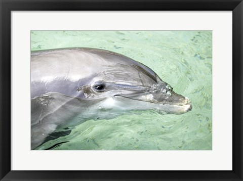 Framed Close-up of a Bottle-nosed Dolphin in water, Moorea, French Polynesia Print