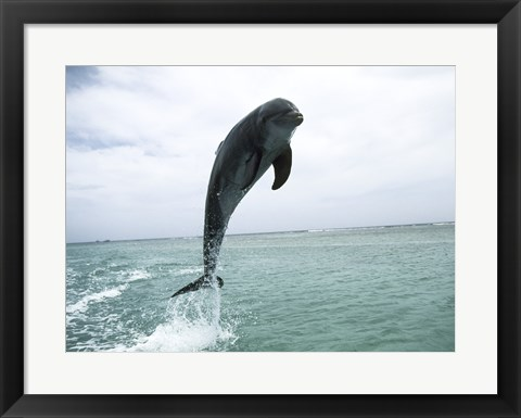 Framed Bottle-Nosed Dolphin Jumping Out of Water Print