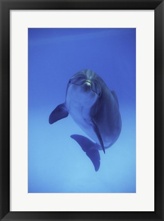 Framed Bottle-Nosed Dolphin Swimming Print