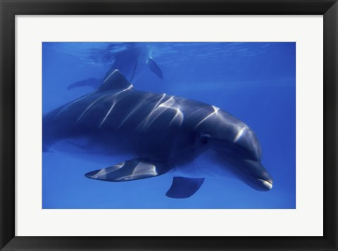 Framed Bottle-Nosed Dolphin Underwater Print