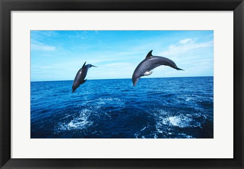Framed Bottle-Nosed Dolphins Jumping Together Print