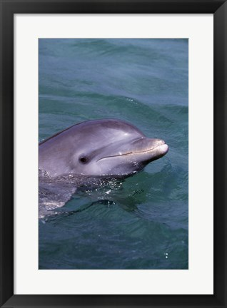 Framed Bottle Nosed Dolphin Saying Hello Print
