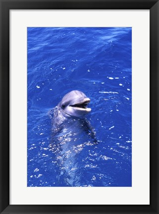 Framed Bottle-Nosed Dolphin Playing Print