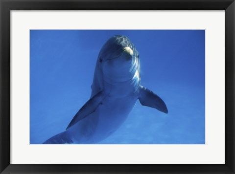 Framed Bottle Nosed Dolphin in Ocean Print