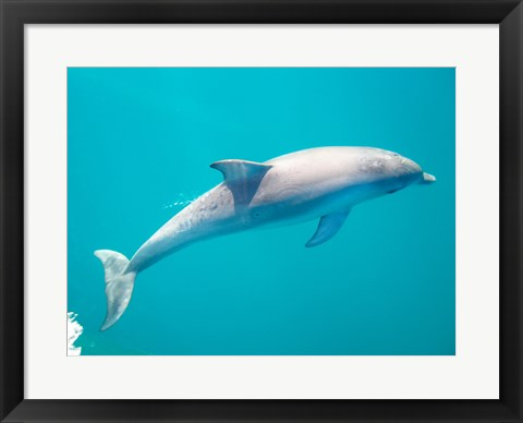 Framed Side profile of a dolphin underwater Print