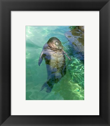 Framed Hawaiian Monk Seal Print
