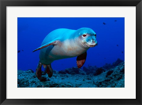 Framed Monk Seal Print