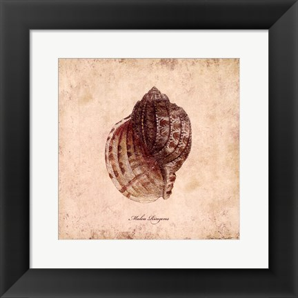 Framed Shells IV Print