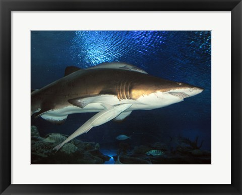 Framed Inside Aquarium Tunnel Viewing Sharks Print