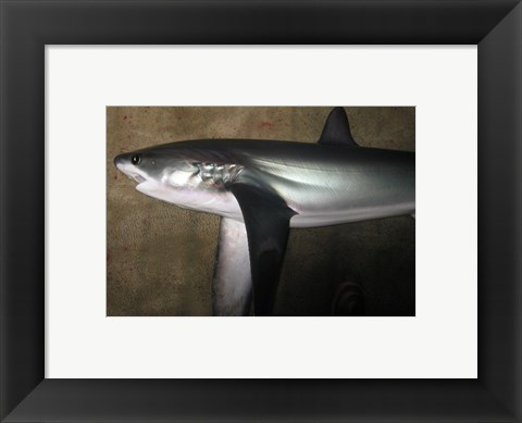 Framed Thresher Shark Print