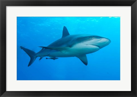 Framed Carribbean Reef Shark Print