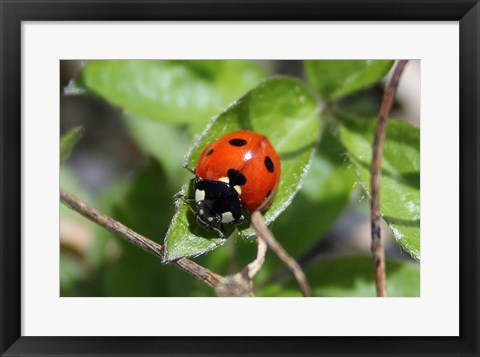 Framed Coccinellidae Print