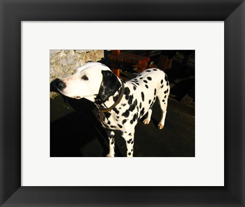 Framed Dalmatian in Croatia Print
