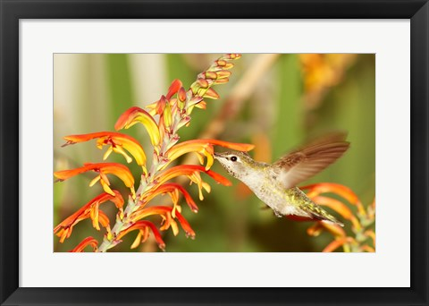 Framed Female Anna's Hummingbird Feeding Print