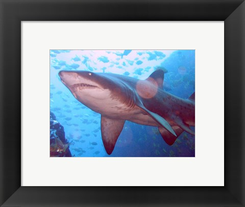 Framed Grey Nurse Shark at Fish Rock Cave Print