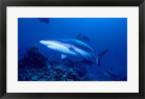 Framed Grey Shark Print