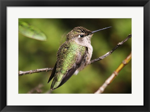Framed Hummingbird II Print