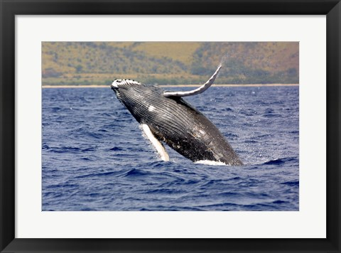Framed Humpback Whale Leaping Print