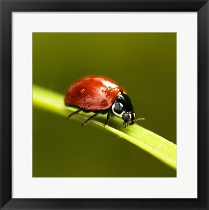 Framed Ladybug On Blade Of Grass Print