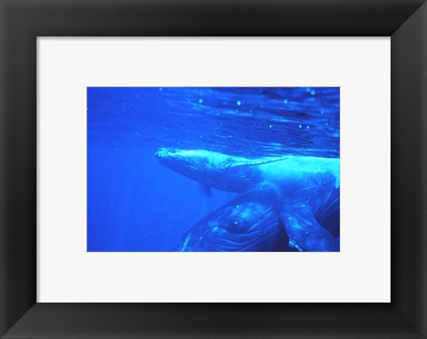 Framed Humpback whale mother and calf Print
