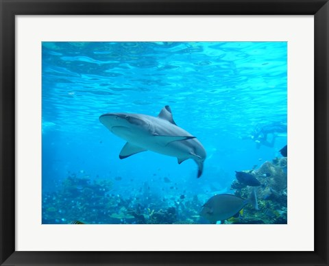 Framed Shark Underwater Print