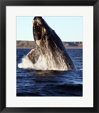 Framed Southern right whale Print
