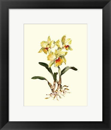 Framed Yellow Cattleya Orchid Print