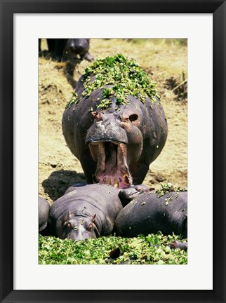 Framed Group of Hippopotamus, one with mouth open (Hippopotamus Amphibius) Print
