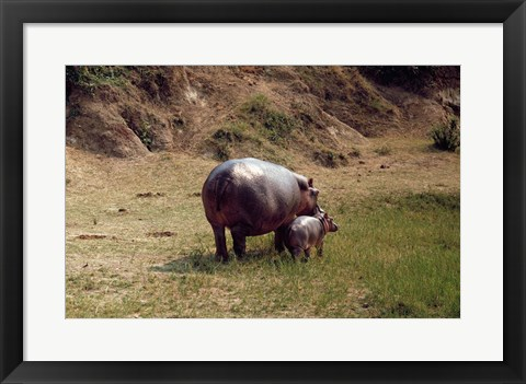 Framed Africa, Hippopotamus (Hippopotamus amphibius) mother with young near Nile River Print