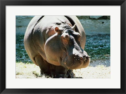Framed Close-up of a Hippopotamus Print