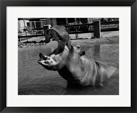 Framed USA, Louisiana, New Orleans, Hippopotamus in zoo Print