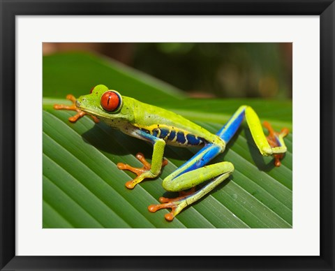 Framed Red Eyed Tree Frog Print