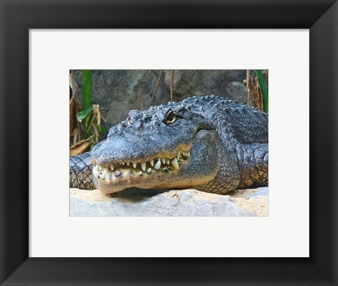 Framed Alligator Mississippiensis Print