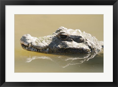 Framed Caiman Displaying Fourth Tooth Print