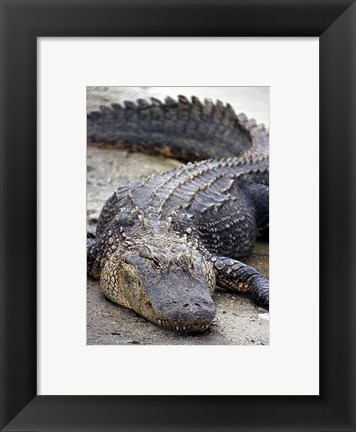 Framed Florida Alligator Print