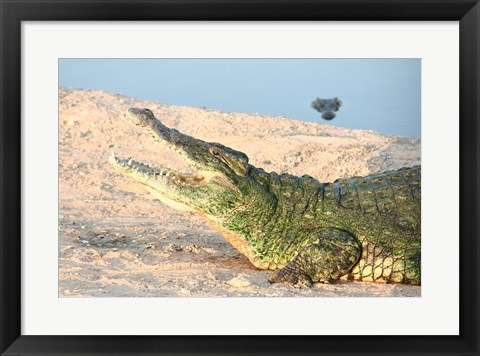 Framed Open Mouth Crocodile Print