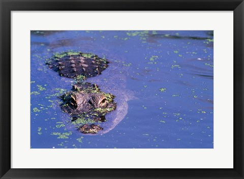 Framed High angle view of an American alligator swimming in a pond Print