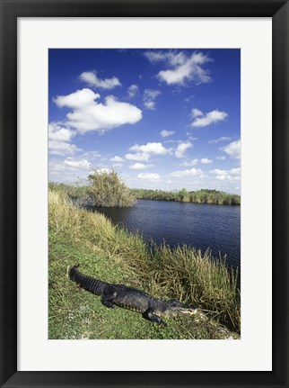Framed High angle view of an alligator near a river, Everglades National Park, Florida, USA Print