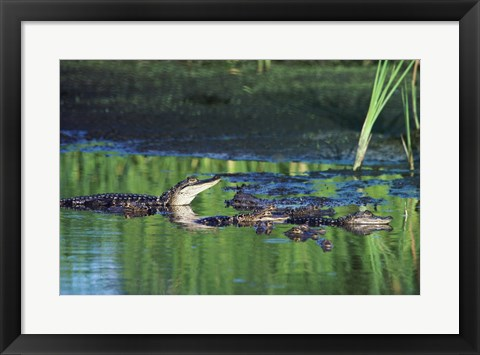 Framed Group of American Alligators in water Print