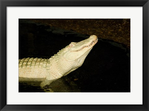 Framed Close-up of an American alligator in a lake Print